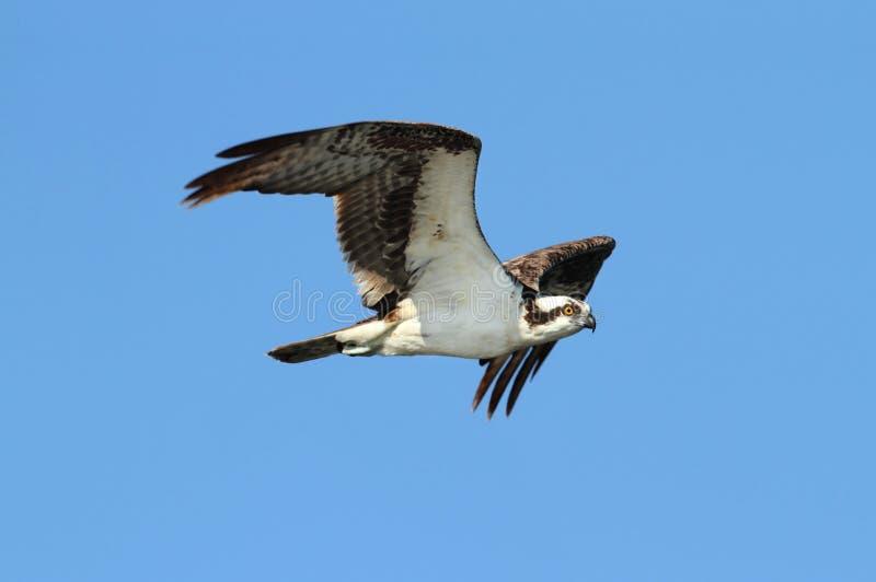 Osprey (haliaetus de pandion) photos libres de droits