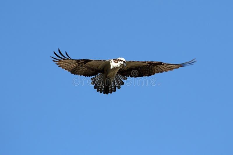 Osprey (haliaetus de pandion) photographie stock