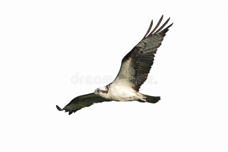 Osprey (haliaetus del pandion) aislado imagen de archivo