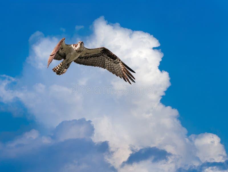 Osprey (haliaetus Pandion) витает стоковые изображения rf