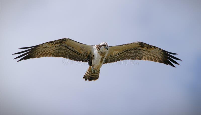Osprey Hovering stock afbeeldingen