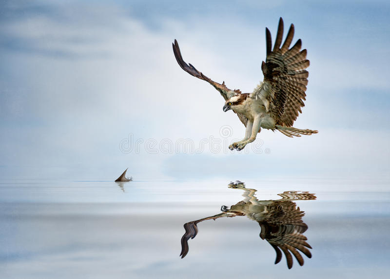 Osprey hunt. An osprey closes in on a mullet in the shallows of a Florida lagoon