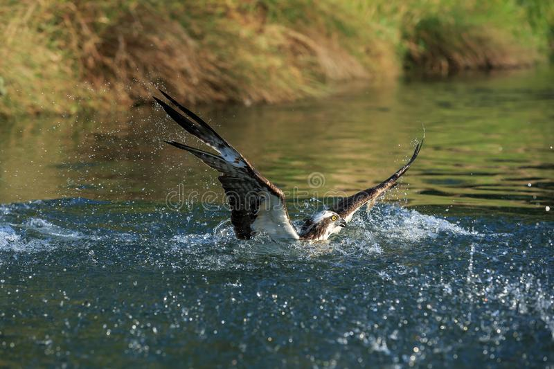 An Osprey dives into the water to catch a trout. An Osprey hunting for trout dives into the water in a river in Rutland, Leicestershire, UK stock photography