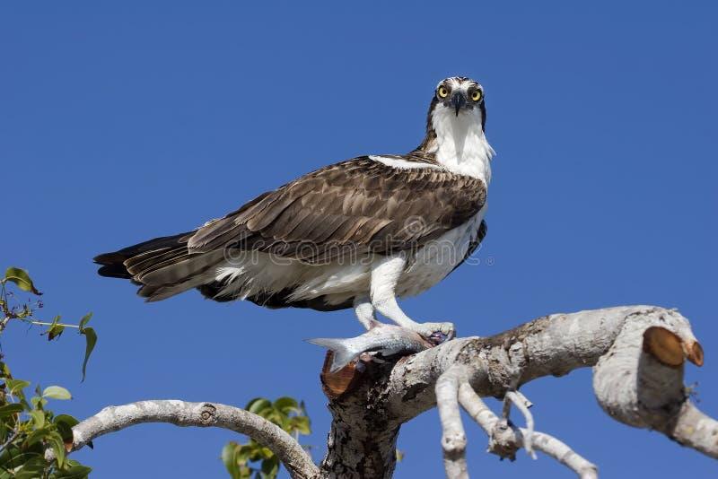 Osprey II photos libres de droits