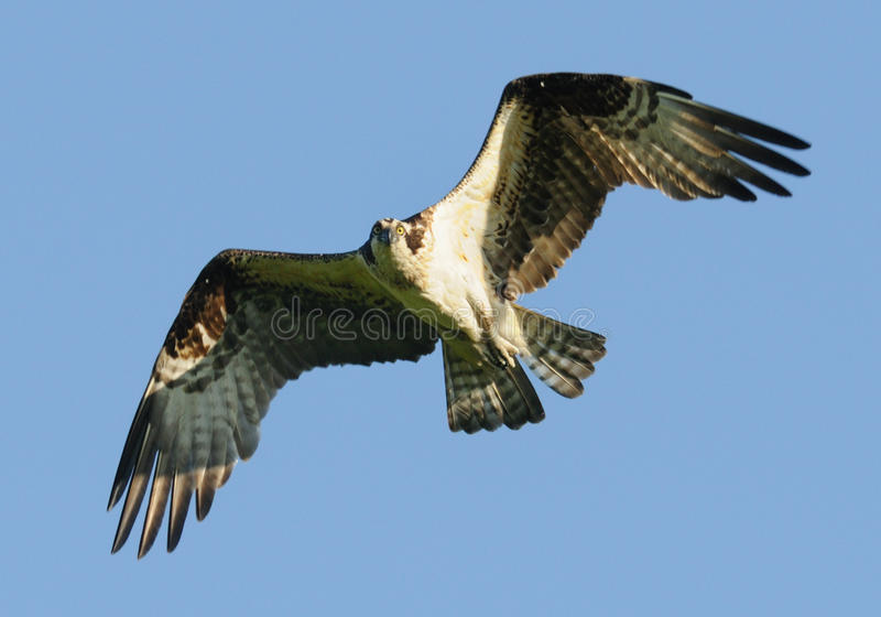 Osprey im Flug lizenzfreie stockfotos