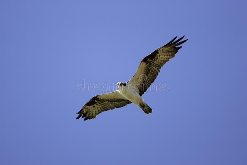 Osprey im Flug stockbilder