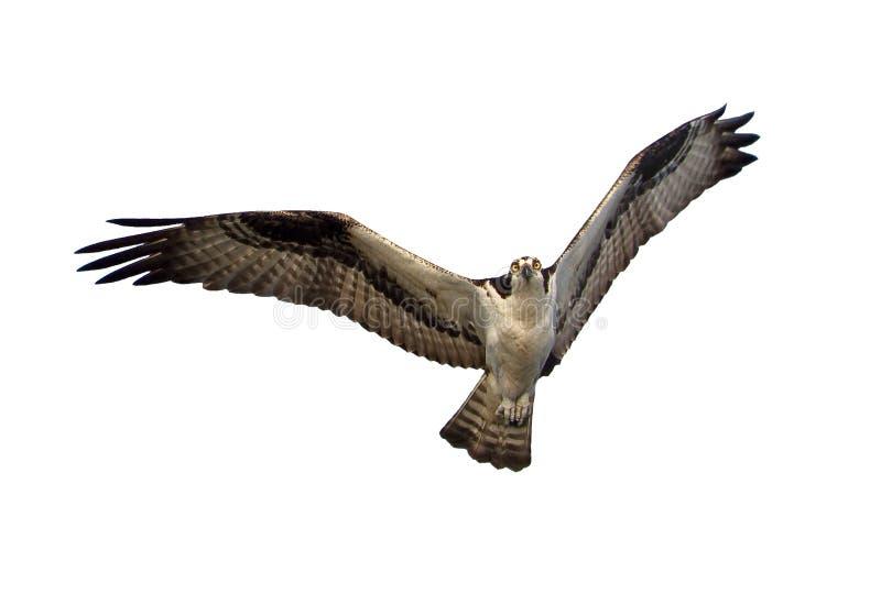 Osprey isolato fotografie stock