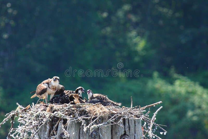 Osprey maduro e três bebês imagens de stock royalty free
