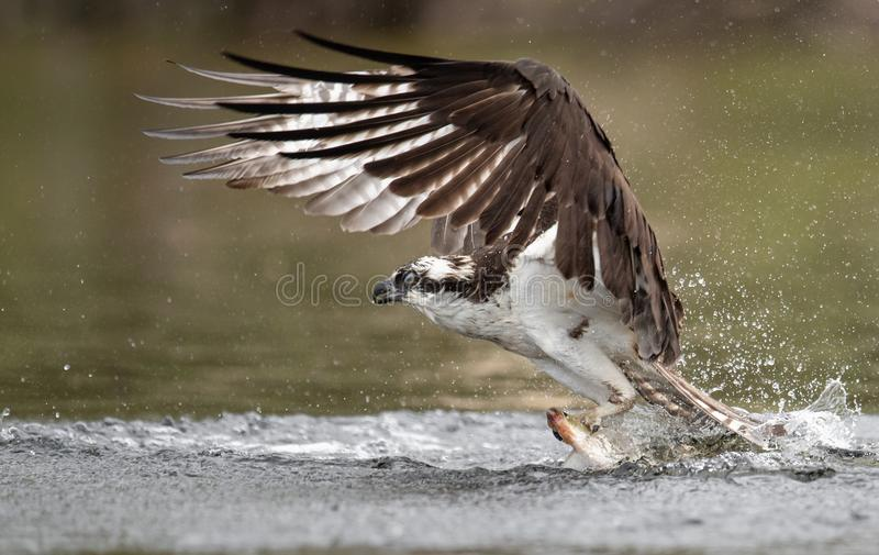 Download Osprey in Maine stock photo. Image of lake, cute, along - 118242584