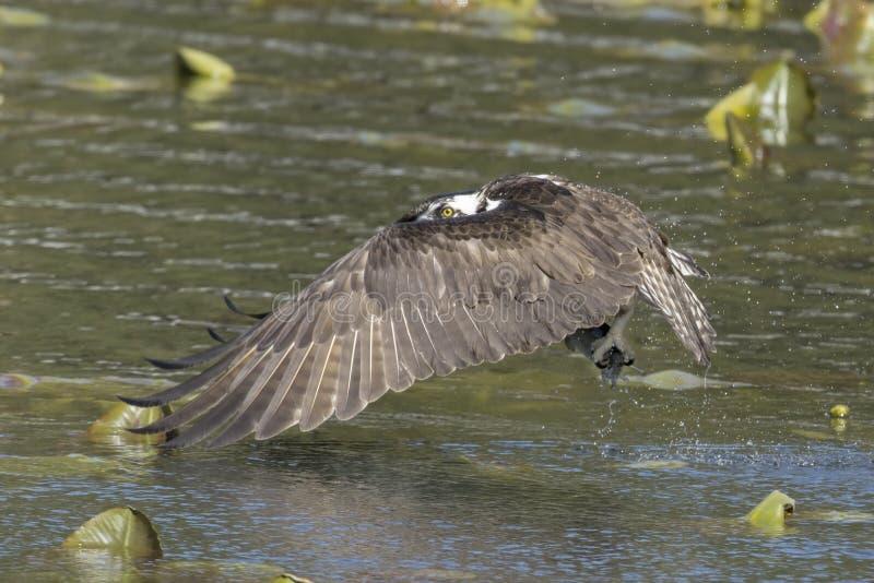 Osprey met vis in talonen royalty-vrije stock afbeelding