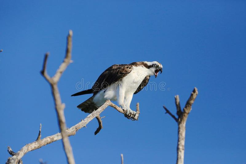 Osprey stock photography