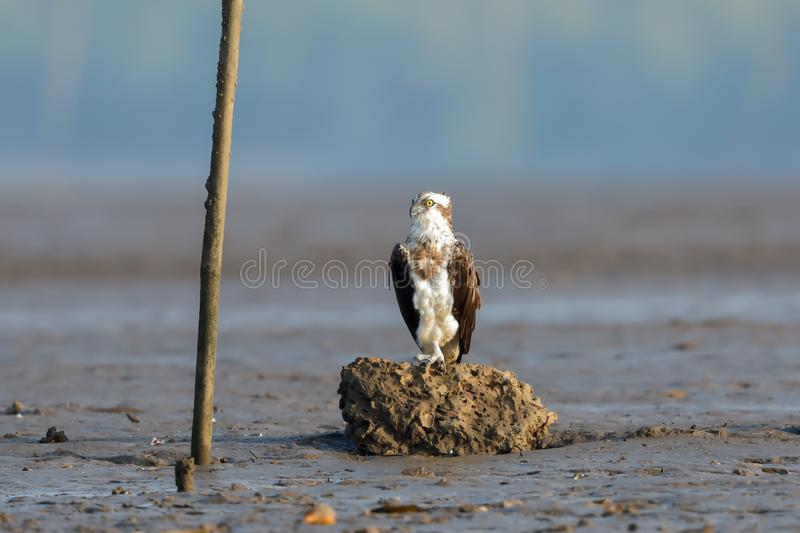 An Osprey dives perched on a rock. The osprey or more specifically the western osprey — also called sea hawk, river hawk, and fish hawk — is a royalty free stock photos