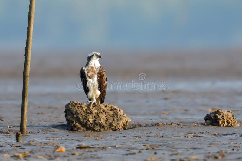 An Osprey dives perched on a rock. The osprey or more specifically the western osprey — also called sea hawk, river hawk, and fish hawk — is a stock photo
