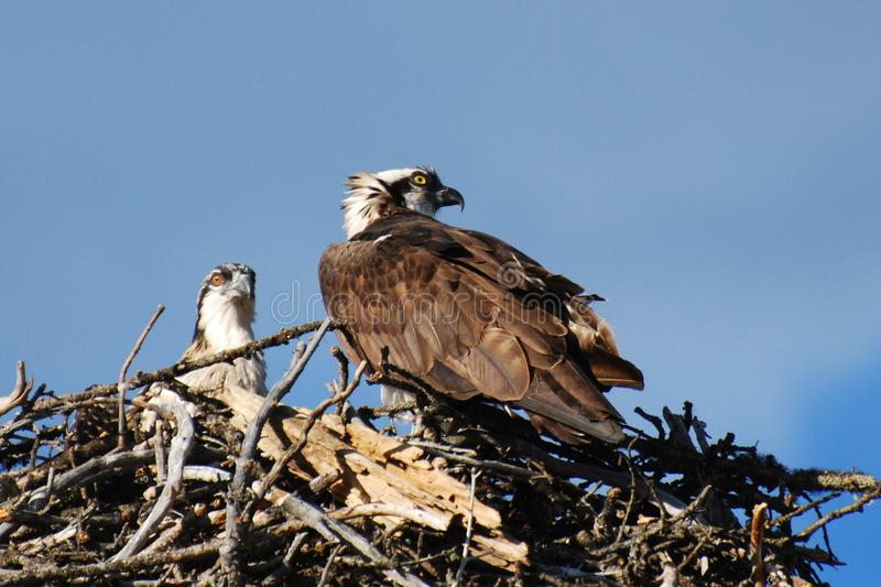 Osprey on nest with chick royalty free stock images