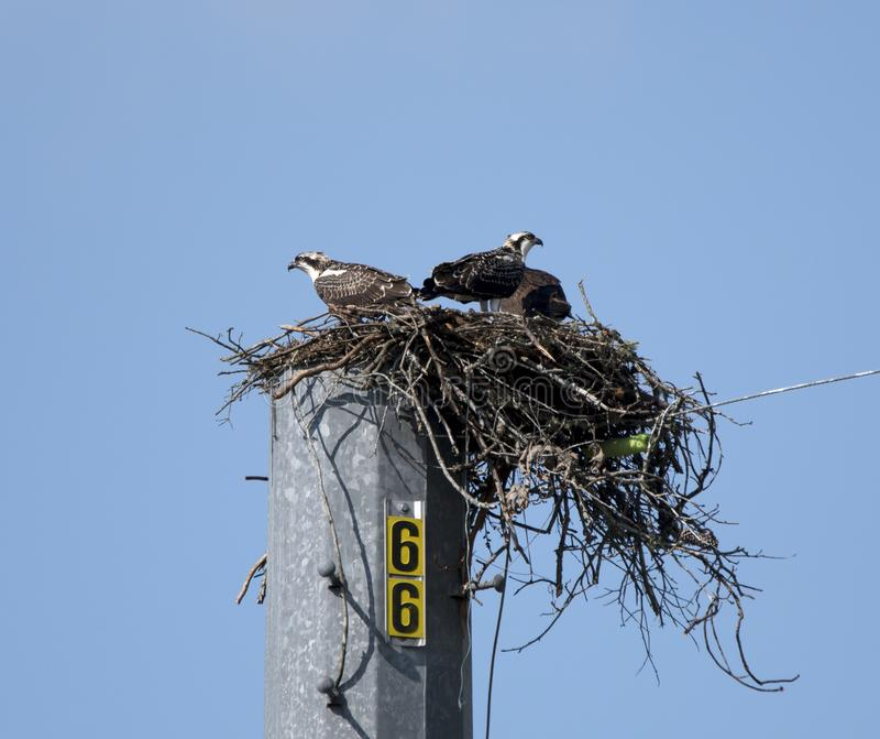 Osprey Nest, Lake Oconee Georgia USA. Juvenile and adult Osprey bird of prey raptors in nest platform on utility pole at Lake Oconee, Putnam County, GA. The royalty free stock images