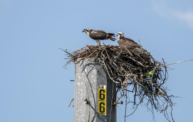 Osprey Nest, Lake Oconee Georgia USA. Juvenile and adult Osprey bird of prey raptors in nest platform on utility pole at Lake Oconee, Putnam County, GA. The stock photos