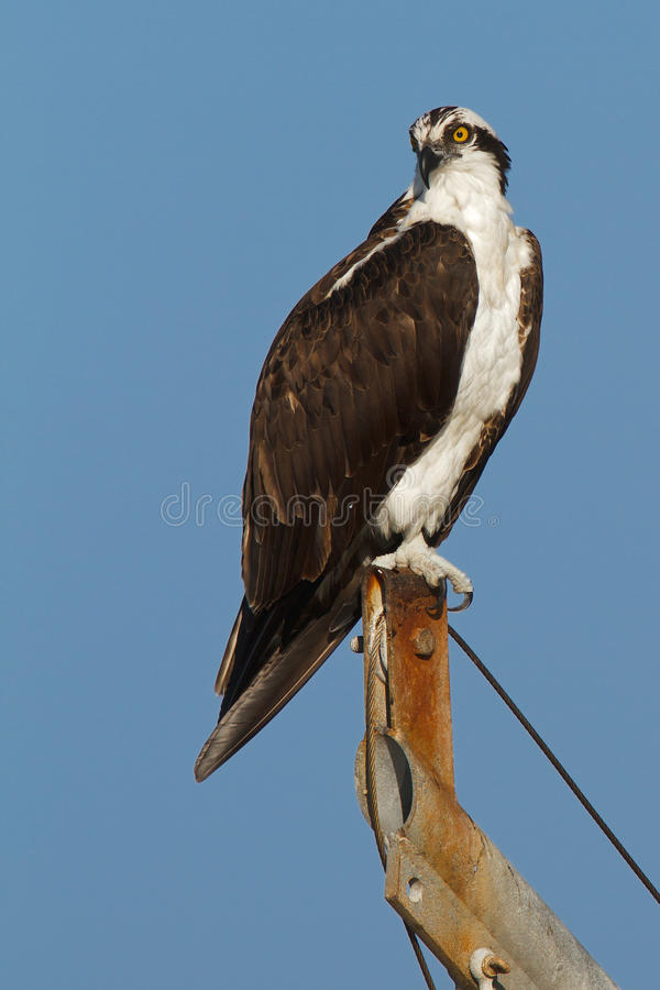 Osprey no céu azul fotos de stock royalty free