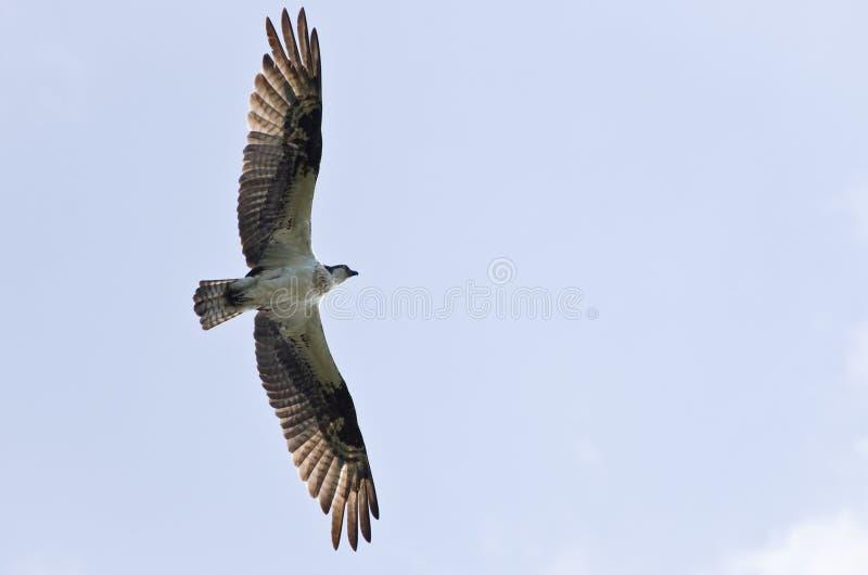 Osprey no vôo imagem de stock