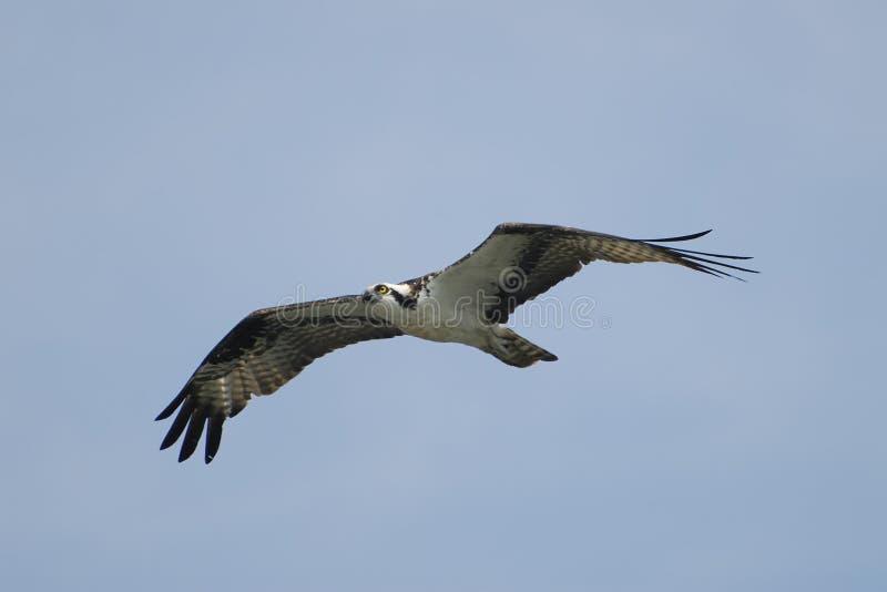 Osprey no vôo foto de stock