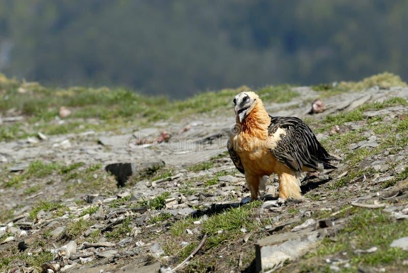 Osprey nos Pyrenees imagem de stock