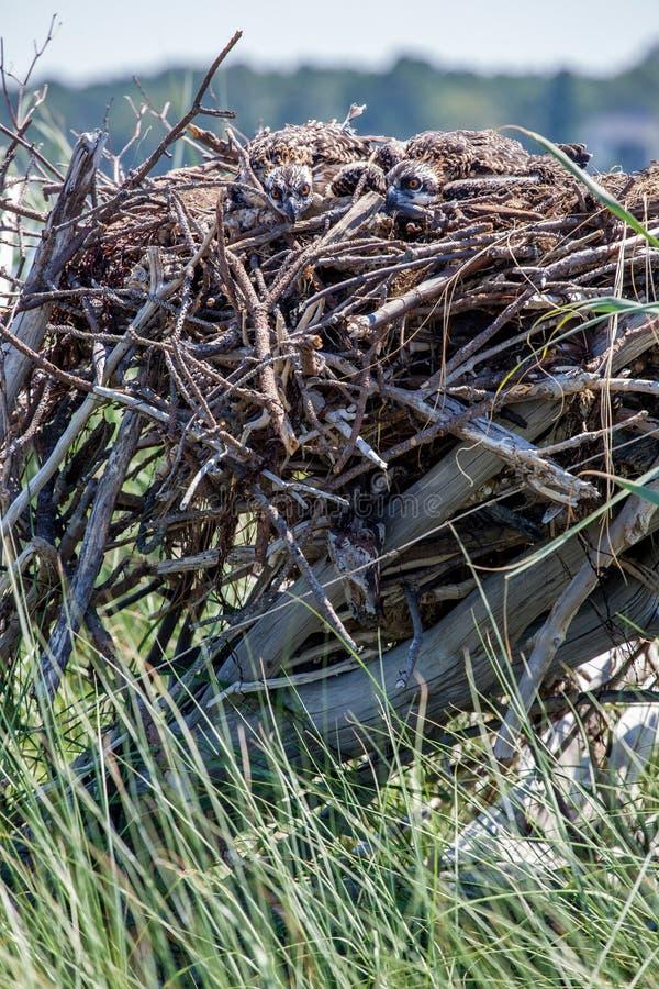 Osprey novo foto de stock