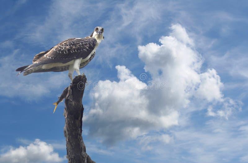 Osprey novo empoleirado em uma árvore com peixes fotografia de stock royalty free