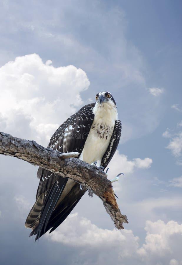 Osprey novo empoleirado em uma árvore inoperante imagem de stock royalty free