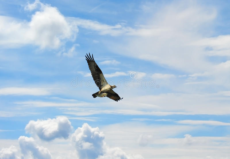 Osprey in nubi con i pesci fotografia stock libera da diritti