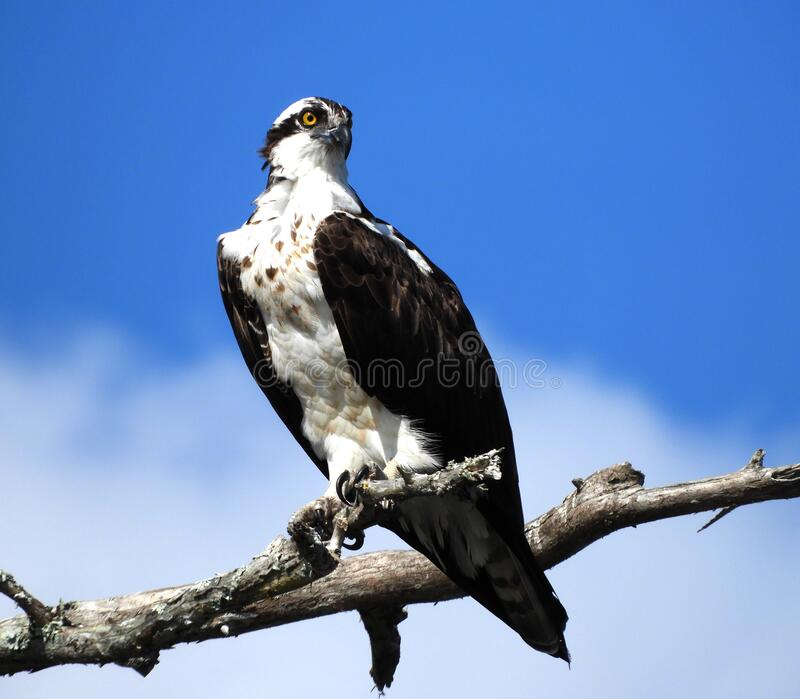 Osprey overlooking the Sebastian River stock images