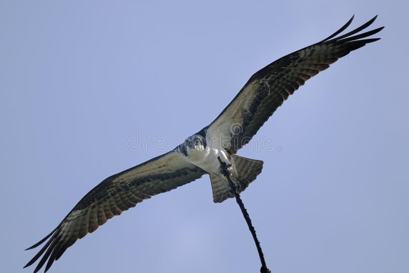 Download Osprey, Pandion Haliaetus Royalty Free Stock Photo - Image: 11119275