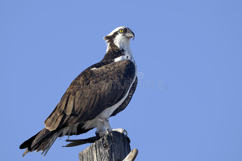 Osprey, Pandion haliaetus lizenzfreies stockfoto