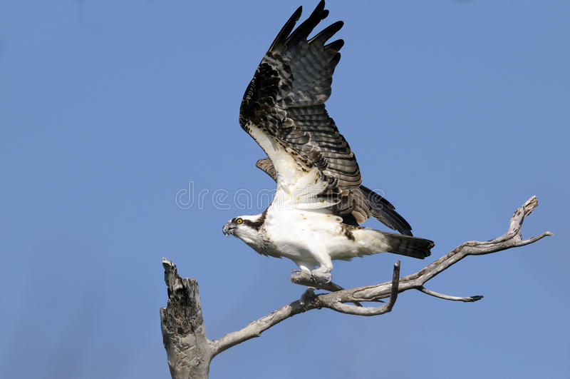 Osprey, Pandion haliaetus stockbild