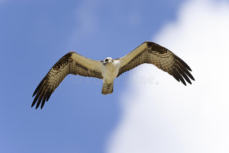 Download Osprey, pandion haliaetus stock image. Image of animal - 24882003