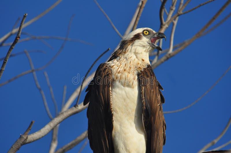Osprey, Pandion haliaetus, auf Zweig dem Benennen lizenzfreies stockbild