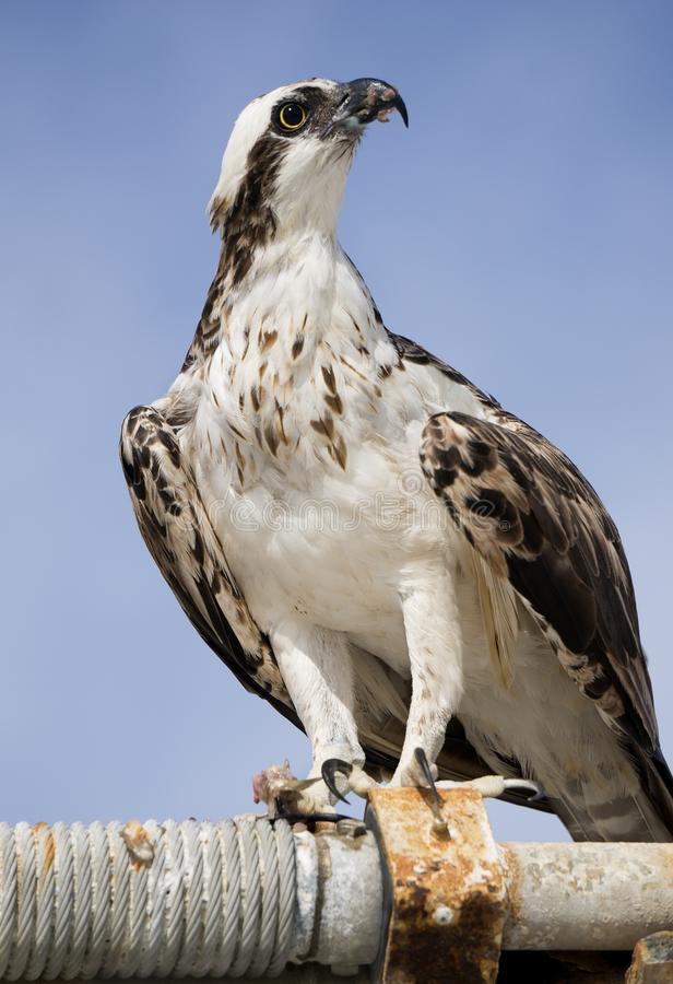 Osprey drying in the sun after catching and eating a fish. royalty free stock photography