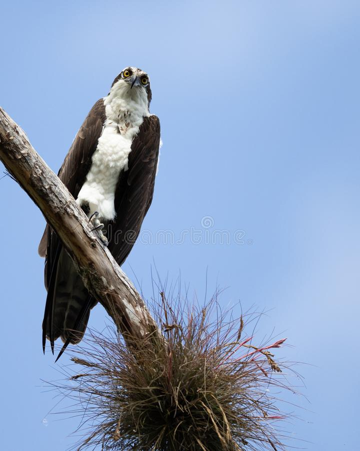 Osprey. Perched on branch looking for prey on a clear blue sky day stock photos
