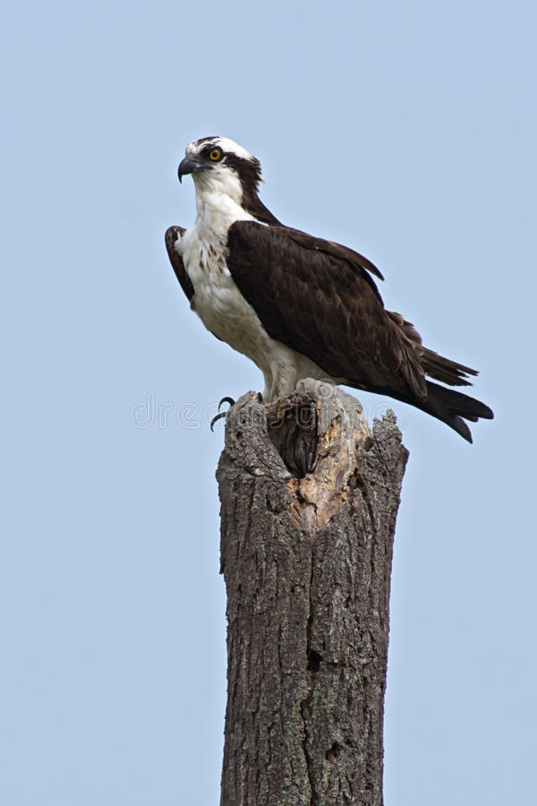 Download Osprey stock image. Image of plumage, natural, bird, raptor - 31054731