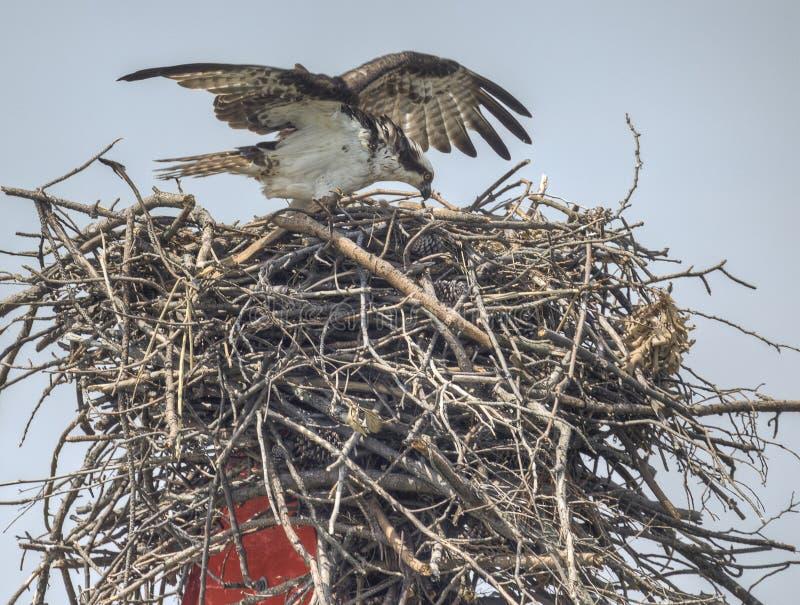 Osprey que aninha-se perto do louro de Chesapeake, Maryland foto de stock