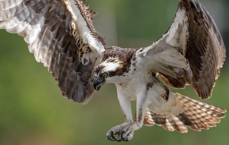 Osprey que coge un pescado con las garras hacia fuera imagenes de archivo