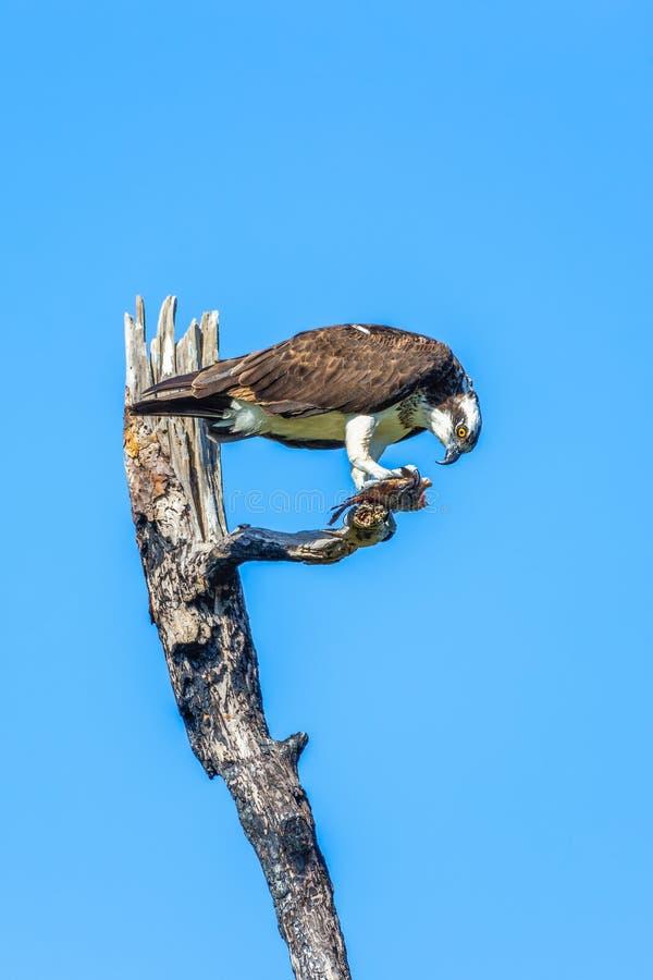 Osprey que come pescados en camping del flamenco Parque nacional de los marismas florida EE.UU. fotos de archivo libres de regalías