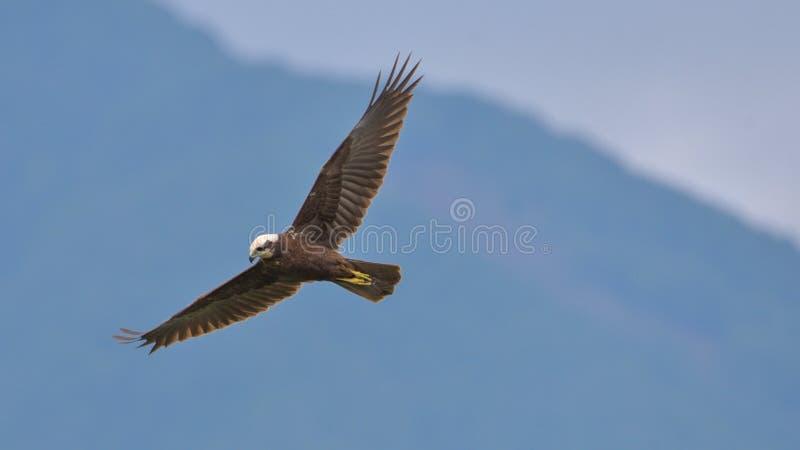 Osprey que está volando imagenes de archivo