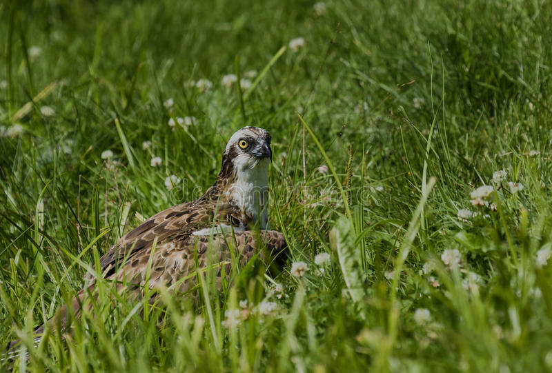 Osprey resting in ground. With a big fish royalty free stock images