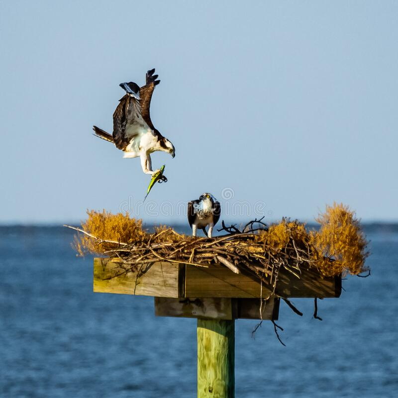 Osprey Returning Home with Dinner. An osprey in flight as it returns to its mate in a platform nest  on a bay in Virginia near the Chesapeake, with a fish in its royalty free stock images