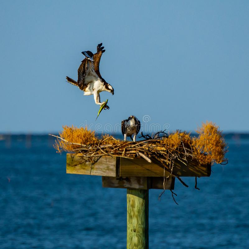 Osprey Returns Home with a Green Fish for Dinner. An osprey in flight carrying a green fish it has caught in its talons to its mate in their nest on the stock images