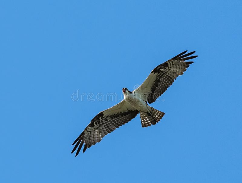 Osprey Screaming in Flight. An osprey screaming as it flies over the Chesapeake Bay in Virginia, with its wings outspread stock image