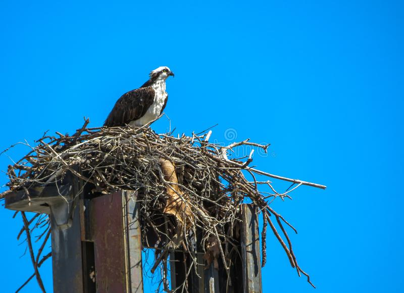 An osprey sitting on top of a forklift royalty free stock photography
