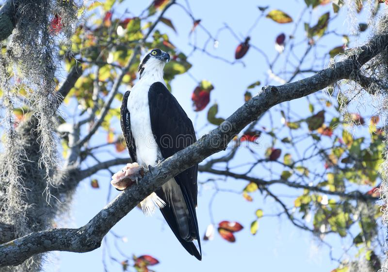 Osprey sitting in a tree with a fish that he caught royalty free stock photos