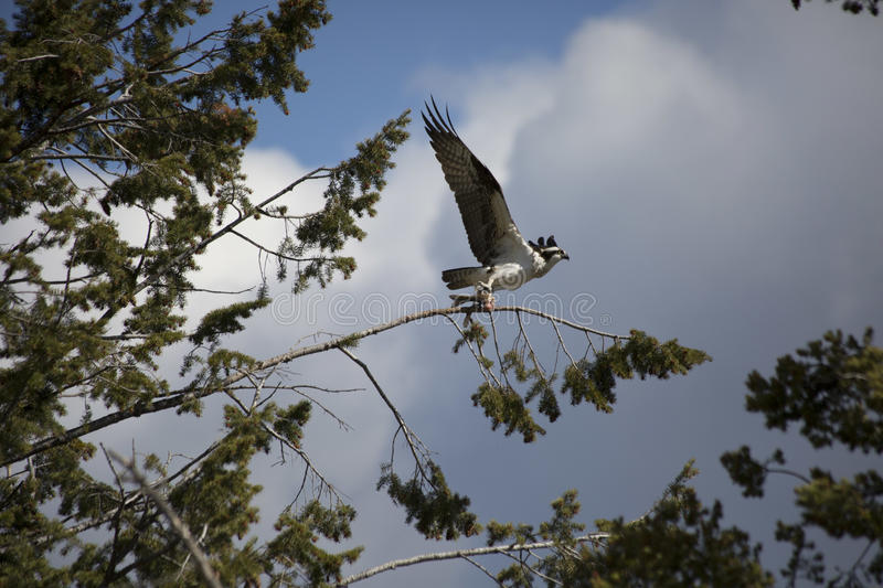 Osprey. Stood by the tree for 2 hours and watch this osprey eat his catch taken with a 70-300mm lens stock image