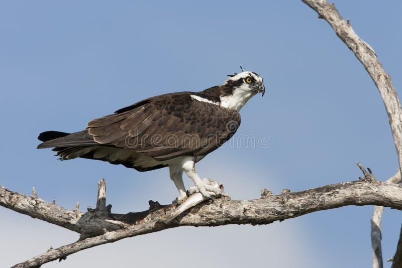 Osprey, subespecie americana fotografía de archivo