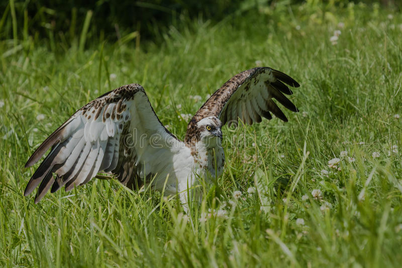 Osprey taking off. From ground stock photography